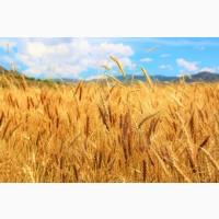 Продам семена озимой пшеницы Благодатная (остистая, элита)