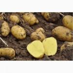 Продам семенной картофель / насіннєва картопля Уже принимаем заказы