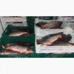 Замороженная речная рыба, плотва оптом. Возможен экспорт речной рыбы