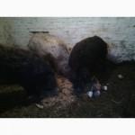 Продається кнур венгерська мангалиця, також дві свиноматки