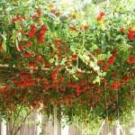 Продам семена Томатное дерево (Цифомандра)