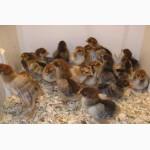 Продам подрощенных курчат породы Кучинская
