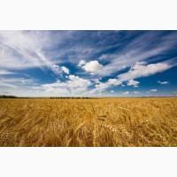 Закупаем пшеницу фуражную и классовую
