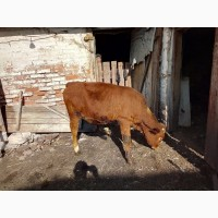 Продам тёлку на корову от хорошей дойной мамы