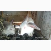 Кролики Хіплюс