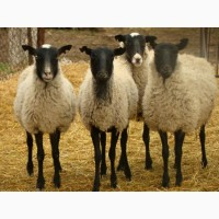 Куплю овец романовской породы оптом
