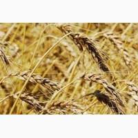 Закупаем Пшеницу 2-6 класса крупным оптом