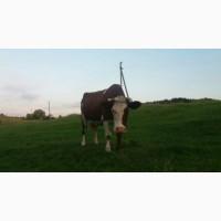 Продам молочну корову