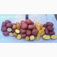 Продам товарный и семенной картофель отличного качества - урожай 2018