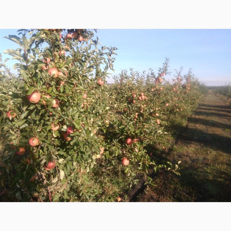Фото 2. Продам яблоко