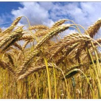 Семена озимой пшеницы Зиск Элита, урожайность 78-110 ц/га