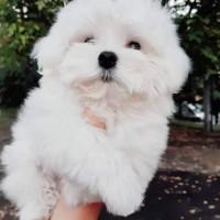 Продам щенка мальтезе