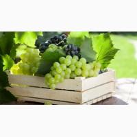 Домашний виноград, столовый и винный