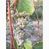 Продам технический виноград сорта цитрон магарача