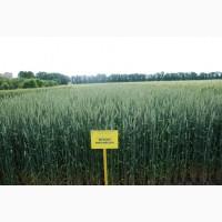 Берегиня Мироновская Озимая пшеница