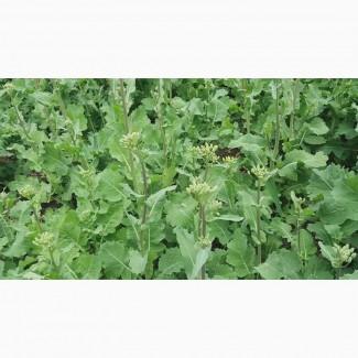 Семена озимого рапса Шелби, Высокоурожайный и зимостойкий рапс Шелби 37ц/га