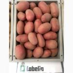 Насіннєва картопля. Провідні компанії Європи - SOLANA та DEN HARTIGH