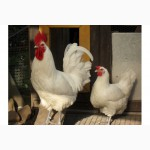 Куры Бресс Галльские (La Bresse Gauloise, Французские Мясные куры)