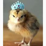 Цыплята, утята, гусята, индюшата. Суточные и подрощенные. Доставка по Украине