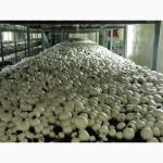 Продам грибы шампиньон оптом