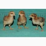 Продам суточных курчат породы Кучинская