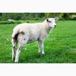 Куплю баранов и овец опт и розница