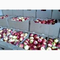 Продам яблоко оптом из холодильника
