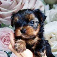 Продам щенков йоркширского терьера от красивых родителей