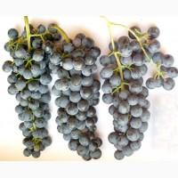 Продаю свіжий темний Виноград сік з мезгою під бродіння на вино від 5л