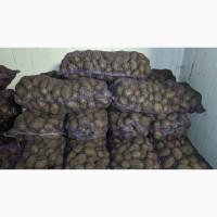 Продам картофель в Каменском сорт Евростарч
