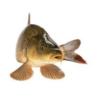Закупка Речной Рыбы Круглый Год в Киевской олбласти