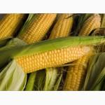 Продам гібрид кукурузи ВН 63