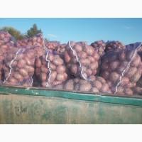 Продам продовольчу картоплю