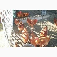 Купить яйцо Редбро Херсон, инкубация на заказ