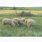 Продам овец, ягнят, баранов цыгайской породы. Стриженные