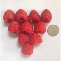 Продам ягоду малины, ремонтантных элитных сортов