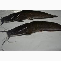 Живая рыба африканский (клариевый) Сом