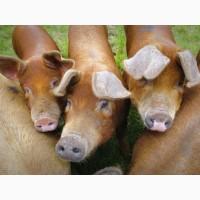 Хряки, свиньи