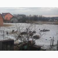 Срочно Продам овец Романовской породы