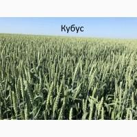 Семена озимой пшеницы Кубус - 1реп. (Германия)