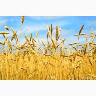 Продам посевной материал озимой пшеницы Алексеич суперэлита Краснодарская селекция