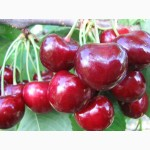 Cаженцы плодовых деревьев