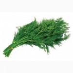 Продам свежую качественную зелень мелким и большим оптом от 100кг до 10т