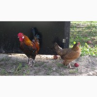 Цыплята бентамки