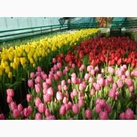 Продам цветы к 8 марта