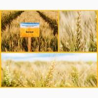 Пшеница озимая Донецкой селекции Богиня репродукция R2 (перед суперэлитой)
