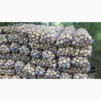 Картофель оптом сорт Ривьера семенная от прямого поставщика