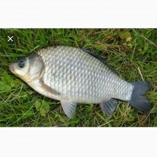 Продам живую рибу Карась
