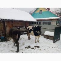 Продам на мясо дві корови