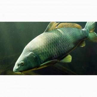 Зарыбление личинкой промысловых видов рыб
